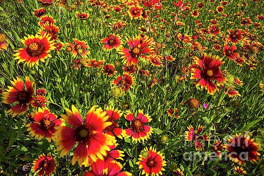 Herronstock Prints - Texas Hill Country wildflowers - Indian Blanket Firewheels, Lake