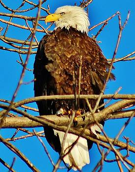 The Bald Eagle by Thomas McGuire