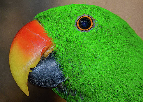 The Eclectus Parrot  by Kathryn Potempski