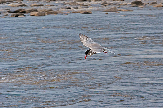 The fishing Common Tern by Asbed Iskedjian