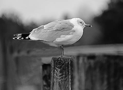 The Gull by Keith Bowen