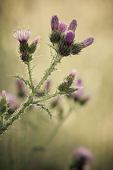 Thistle flowers by Ignacio Leal Orozco