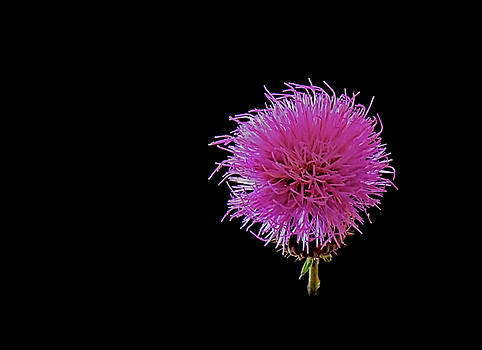 Thistle by Stuart Harrison