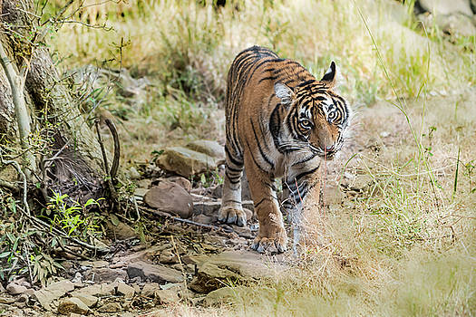 Tiger in the woods by Pravine Chester