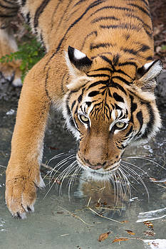 Tiger Tests Water by John McQuiston