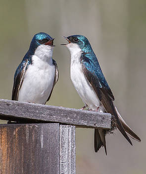 Dee Carpenter - Tree Swallows