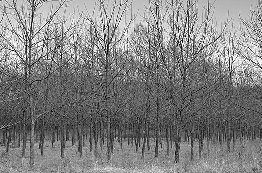 Trees in a Row by Shawn Wood