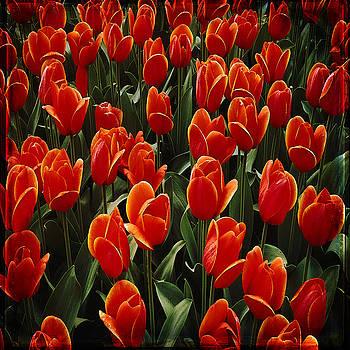 Ingrid Smith-Johnsen - Tulip 15