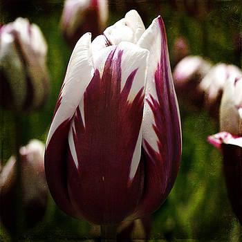 Ingrid Smith-Johnsen - Tulip 33