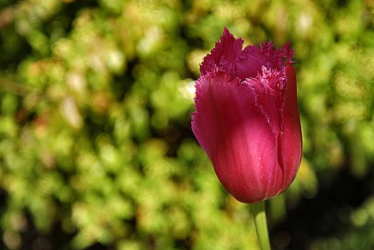 David Iori - Tulip