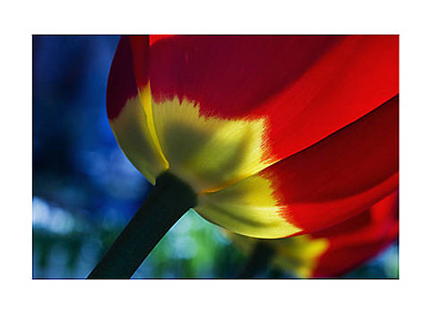 Tulip Expression by Sample