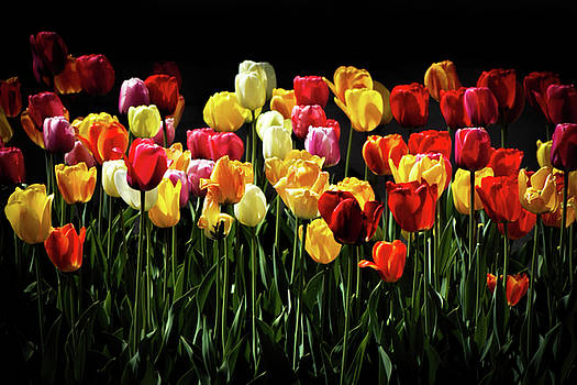 Tulip Happy by ArtissiMo Photography
