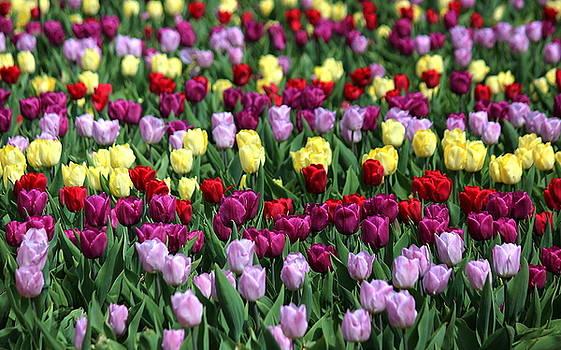 Rosanne Jordan - Tulips Tulips Tulips