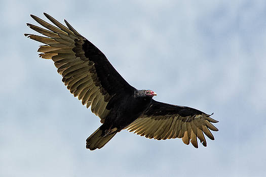 Turkey Vulture by Christopher Ciccone