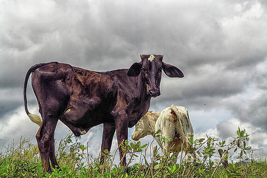 Two cows by Patricia Hofmeester