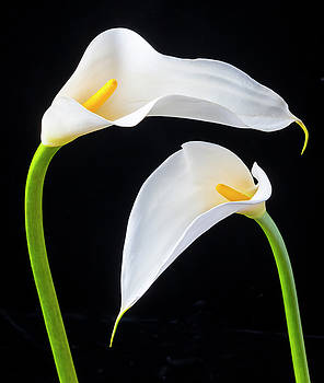 Two Lovely Calla Lilies by Garry Gay