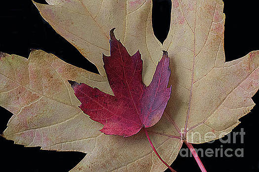Two maple leaves by Jim Wright