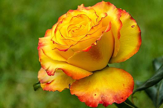Martina Fagan - Two toned rose