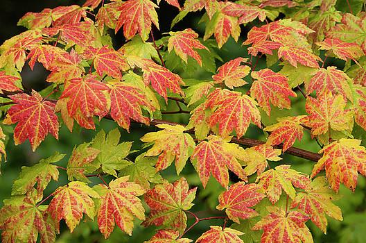 Vine Maple in Autumn by Greg Vaughn