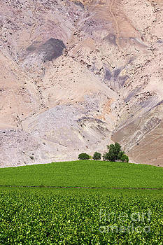 James Brunker - Vines in the Desert