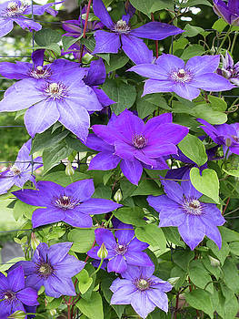 Vines of Purple Clematis by Barbara McMahon
