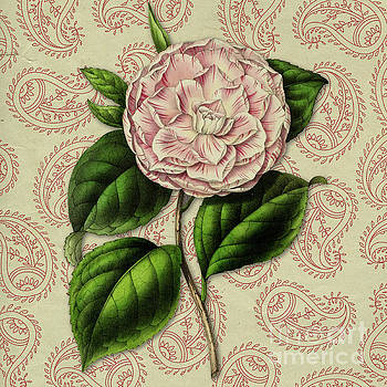 Vintage Botanical Pink Flower Camellia japonica by Amy Cicconi
