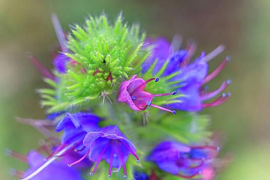 Viper Bugloss Plant by William Cruz