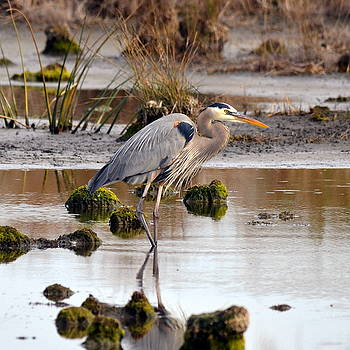 Wading Great Blue Heron by Carla Parris