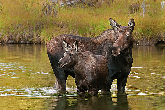 Watchful Moose by Gary Lengyel
