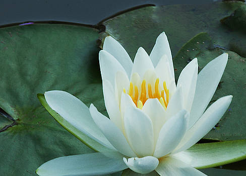 Water Lily by George Lovelace