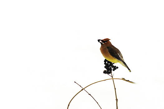 Waxwing Wonders by Andrea Kollo