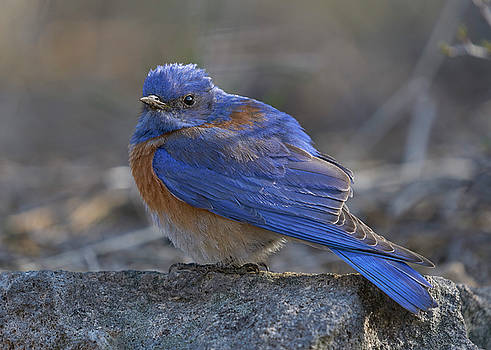 Western Bluebird by Doug Herr