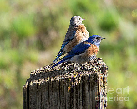 Western Bluebird Pair by Mike Dawson