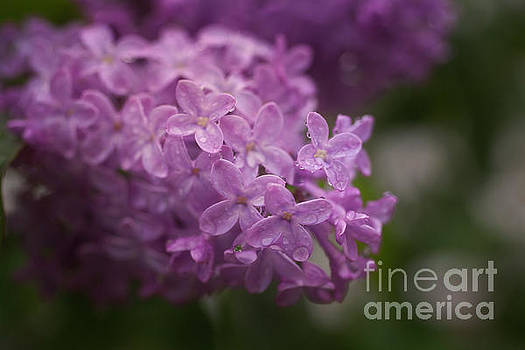 Jonathan Welch - Wet Lilac