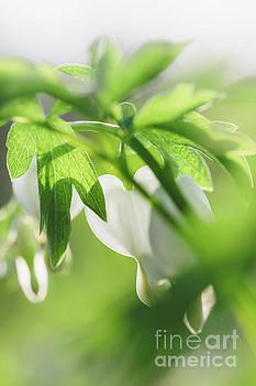 White Bleeding Heart Flowers by Leslie Banks