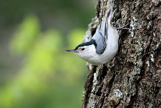 Annie Babineau - white-breasted nuthatch