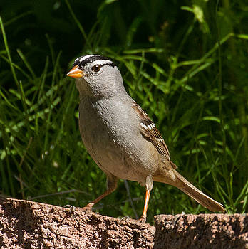 Dee Carpenter - White-Crowned Sparrow