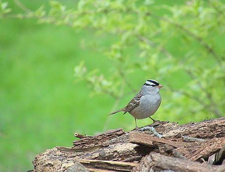 White Crowned Sparrow by Rosanne Jordan