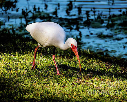 White Ibis by Thomas Marchessault
