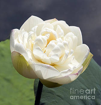 White Lotus by Denise Woldring