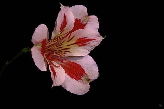 Jason Blalock - White Peruvian Lily