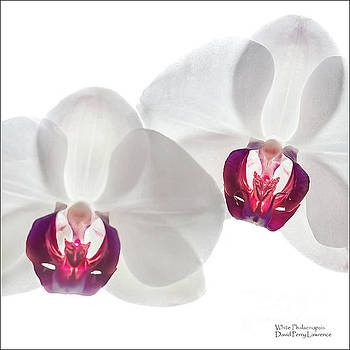 White Phalaenopsis Orchids #3059 by David Perry Lawrence