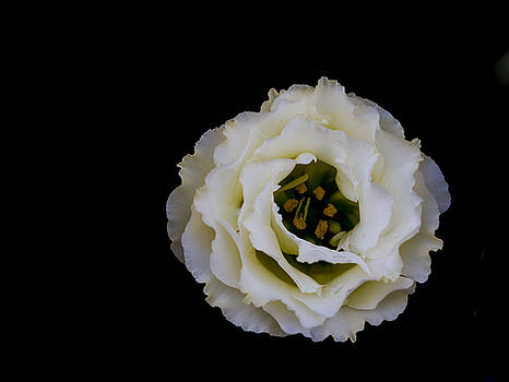 White Rose by Denise McKay