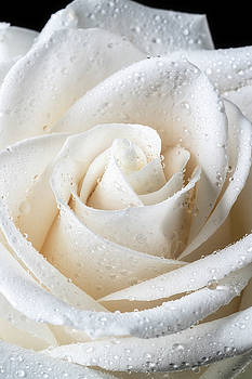 White Rose With Dew by Garry Gay