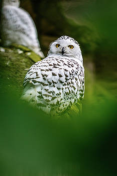 White snowy owl by Libor Vrska