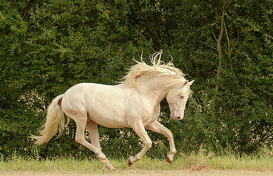 White Stallion Cantering by Pam Kaster