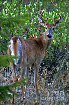 Cindy Murphy - NightVisions - White-Tail Buck
