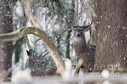 Dan Friend - White tail bucks in the woods