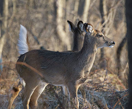 Wild Deer by Paul Ross