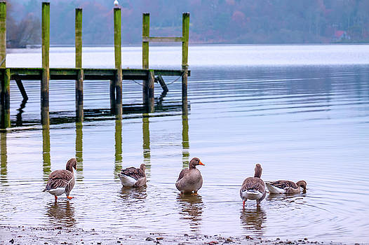 Wild Geese by David Ridley